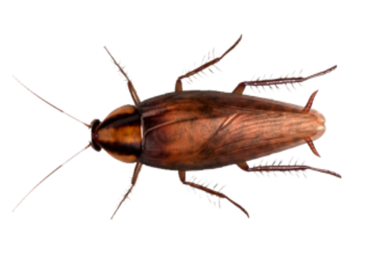 Brown-banded-Roach