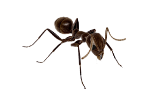 Fire-Ant