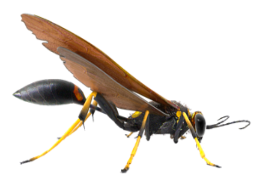 Mud-Dauber-Wasp