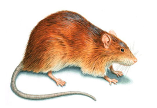 Norway-Rat